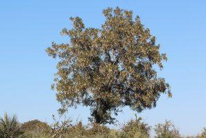 african blackwood tree