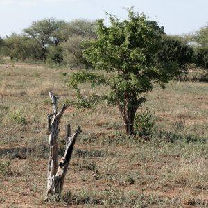 ebony trees in a plain