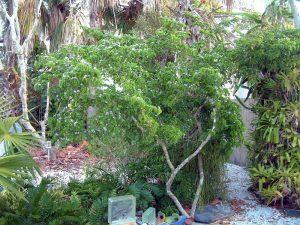 lignum vitae tree